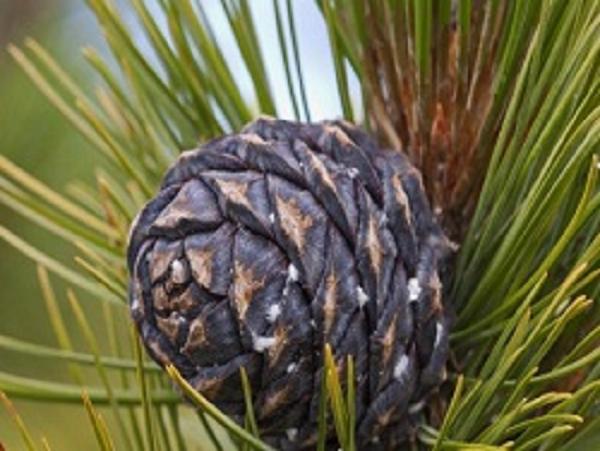 В Бурятии сборщики ореха несколько лет проведут в колонии