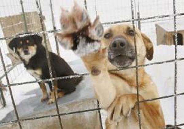 Собачье дело: в ЯНАО пилят бюджеты на отлов бродячих собак
