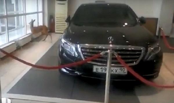 """""""Только не Mercedes!"""" Бешеный олень устроил бучу в элитном автосалоне Москвы"""