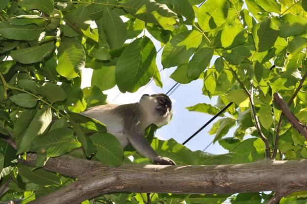 Под Одессой стая обезьян устраивает налеты на дачи и ворует фрукты