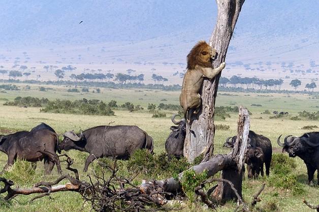 Корова убила льва: стало известно об удивительном случае в Кении