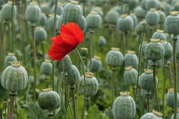 Минпромторг предложил разрешить выращивать опийный мак в медицинских целях