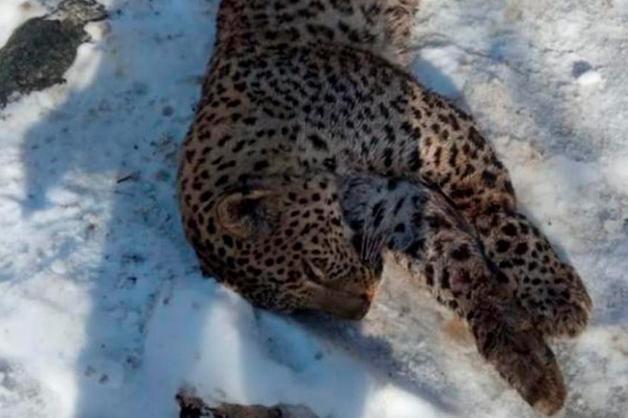 Абхазские браконьеры застрелили одного из пяти леопардов Кавказа Килли