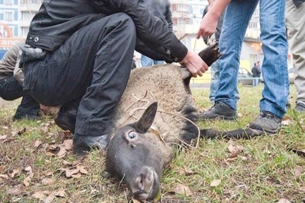 В ХМАО арестовали мужчину, зарезавшего барана перед роддомом