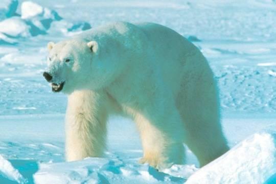 На Новой Земле из-за нашествия белых медведей объявили режим ЧС