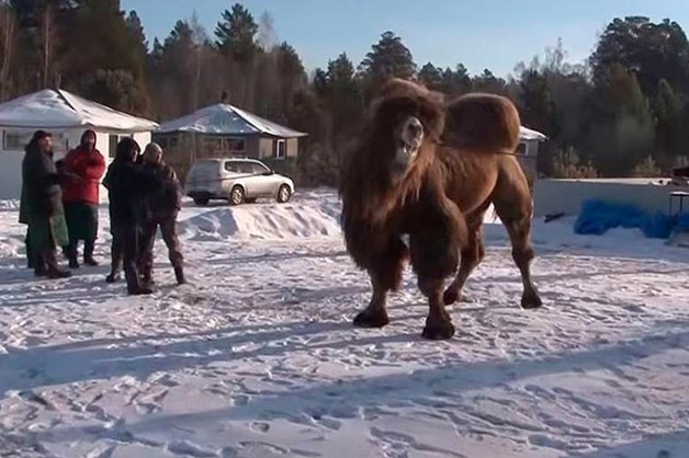 Прокуратура Ангарска потребовала возбудить уголовное дело из-за жертвоприношения верблюдов ради укрепления России