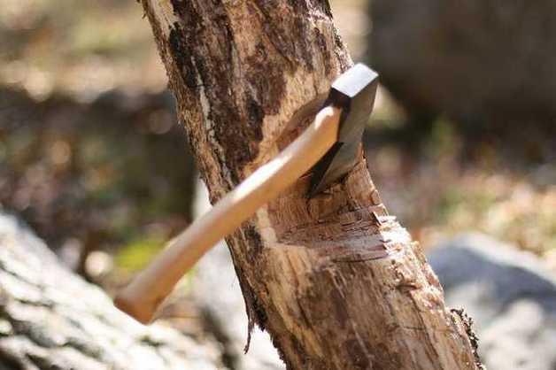 В Харьковской области группа неизвестных незаконно вырубила столетние дубы