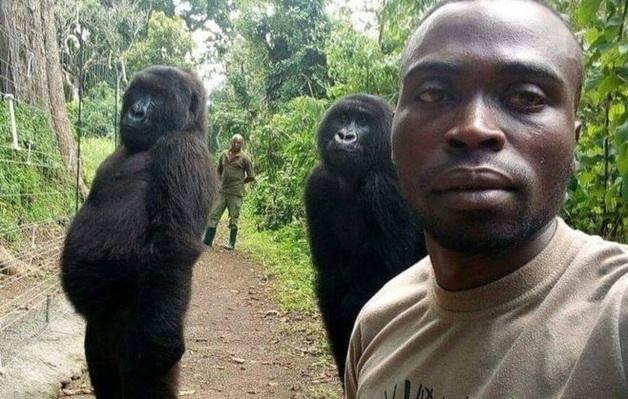 Гориллы в Конго научились позировать для селфи точно как люди