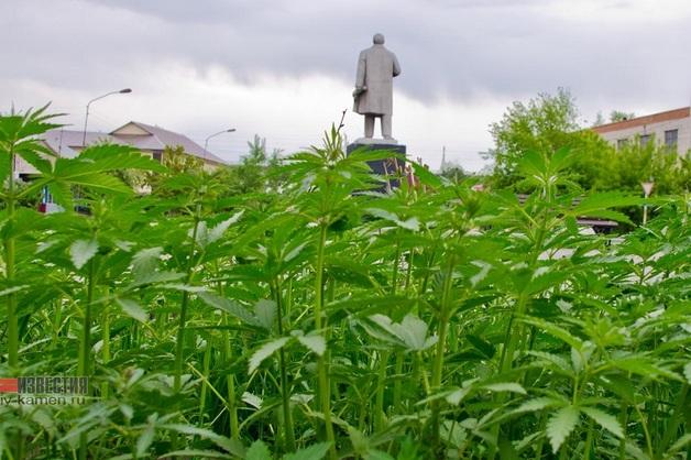 На Алтае напротив городской администрации Камня-на-Оби вырастили коноплю