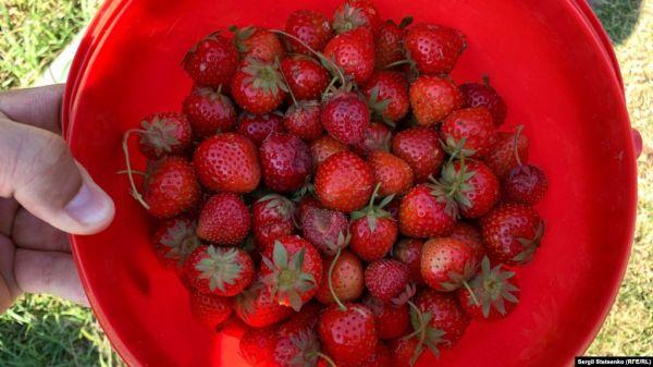 Как чехи экономят на ягодах. Европейский опыт «самосбора»