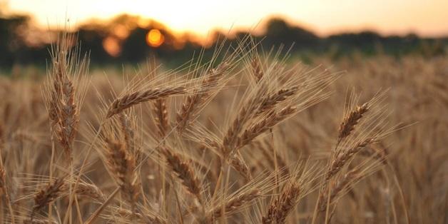 «Банковская» пшеница?